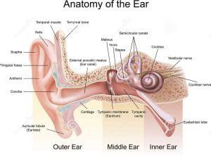 কান পাকা রোগের (Otitis Media) সফল চিকিৎসা কৌশল। কান পাকা রোগের (Otitis Media) সফল চিকিৎসা কৌশল। anatomy ear 24694723